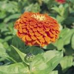 Циния Гиганты Бенари оранжевая /100 семян/ *Benary*