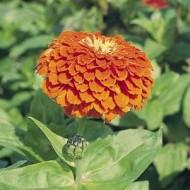 Циния Гиганты Бенари оранжевая /250 семян/ *Benary*