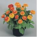 Циния Циннита F1 оранжевая /100 семян/ *Benary*