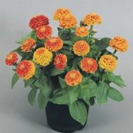 Циния Циннита F1 оранжевая /250 семян/ *Benary*