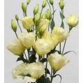 Эустома АВС F1 желтая /100 семян/ *Syngenta Seeds*