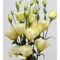 Эустома махровая АВС F1 желтая /100 семян/ *Syngenta Seeds*