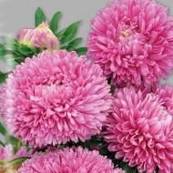 Астра Балун розовая /1.000 семян/ *Satimex*