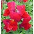 Львиный зев карликовый Снеппи F1 красный /100 семян/ *Hem Genetics*
