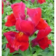 Львиный зев Снеппи F1 красный /100 семян/ *Hem Genetics*