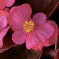 Бегония Бада Бум F1 розовая /1.000 семян/ *Syngenta*