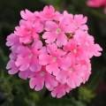 Вербена гибридная Кварц F1 розовая /100 семян/ *Pan American*