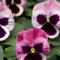 Виола витроока Карма F1 розовая с глазком /100 семян/ *Syngenta*