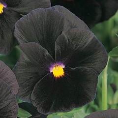 Виола витроока Хеллоуин F1 черная /100 семян/ *Pan American*