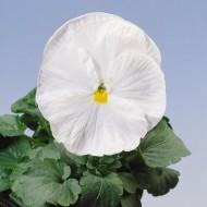 Виола витроока Целло F1 белая /100 семян/ *Hem Genetics*