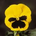 Виола витроока Целло F1 желтая с глазком /100 семян/ *Hem Genetics*