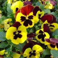 Виола витроока Целло F1 желтая с красным крылом /100 семян/ *Hem Genetics*