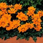 Газания Кисс F1 оранжевая /100 семян/ *Syngenta*