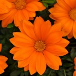 Газания Нью Дей F1 оранжевая /100 семян/ *Pan American*