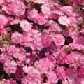 Гвоздика межвидовая Чиба F1 розовая /100 семян/ *Hem Zaden*