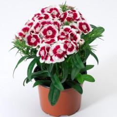 Гвоздика турецкая Диабунда F1 красное пикотэ /100 семян/ *Pan American*