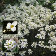 Гутчинзия альпийская /100 семян/ *Syngenta*
