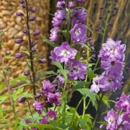 Дельфиниум Екскалибур лилово-розовый с белым глазком /100 семян/ *Syngenta*