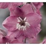 Дельфиниум Магический фонтан лиловый с белым глазком /200 семян/ *Benary*
