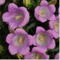 Колокольчик Кампана лиловый /100 семян/ *Pan American*