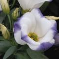Эустома Сапфир F1 бело-синяя /100 семян/ *Pan American*