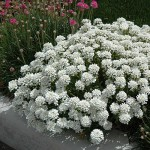 Иберис Таху белый /100 семян/ *Syngenta*