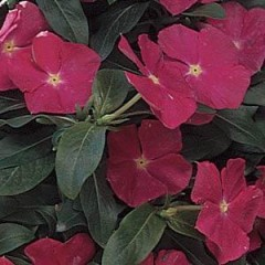Катарантус Медитер F1 темно-розовый /100 семян/ *Pan American*