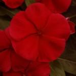 Катарантус каскадный Медитер F1 темно-красный /100 семян/ *Pan American*