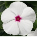 Катарантус каскадный Сан Шторм F1 белый с глазком /100 семян/ *Syngenta*