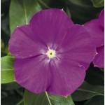 Катарантус каскадный Сан Шторм F1 орхид хеллоу /100 семян/ *Syngenta*