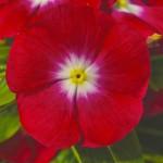 Катарантус каскадный Сан Шторм F1 ред хеллоу /100 семян/ *Syngenta*