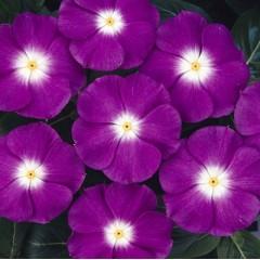 Катарантус каскадный Сан Шторм F1 фиолетовый с глазком /100 семян/ *Syngenta*