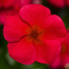 Катарантус каскадный Сан Шторм F1 красный /100 семян/ *Syngenta*