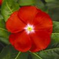Катарантус Сан Шторм F1 ярко-красный с глазком /100 семян/ *Syngenta*