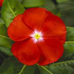 Катарантус каскадный Сан Шторм F1 ярко-красный с глазком /100 семян/ *Syngenta*