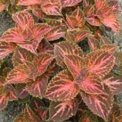 Колеус Визард пастель /100 семян/ *Pan American*