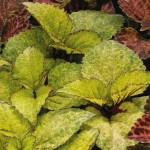 Колеус Визард пинейпел /100 семян/ *Pan American*