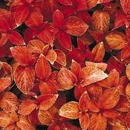 Колеус Визард сансет /100 семян/ *Pan American*