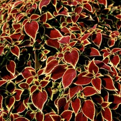 Колеус Визард скарлет /100 семян/ *Pan American*