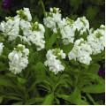 Матиола Хот Кейк белая /200 семян/ *Pan American*