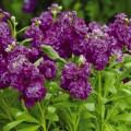 Матиола Хот Кейк пурпурная /200 семян/ *Pan American*