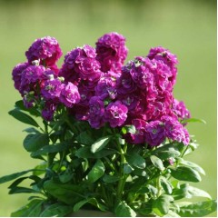 Матиола Хот Кейк розовая /200 семян/ *Pan American*