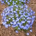 Лобелия Хрустальный дворец синяя /200 семян/ *Pan American*