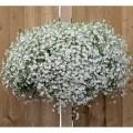 Лобелия Регатта белая /200 семян/ *Pan American*