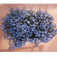 Лобелия Регатта голубая /200 семян/ *Pan American*