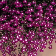 Лобелия Регатта розовая /200 семян/ *Pan American*
