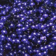 Лобелия Регатта синяя с глазком /200 семян/ *Pan American*