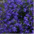 Лобелия Регатта темно-синяя /200 семян/ *Pan American*