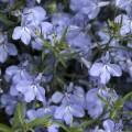 Лобелия Ривьера голубая /200 семян/ *Pan American*