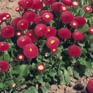 Маргаритка Тассо темно-розовая /1.000 семян/ *Benary*